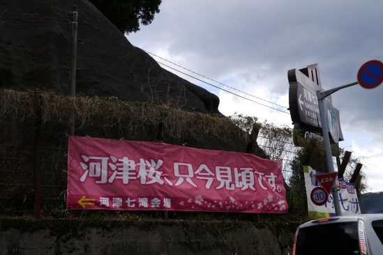 河津七滝・河津桜 (9)