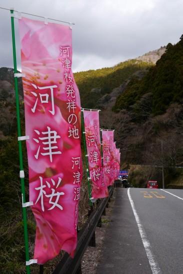 河津七滝・河津桜 (10)