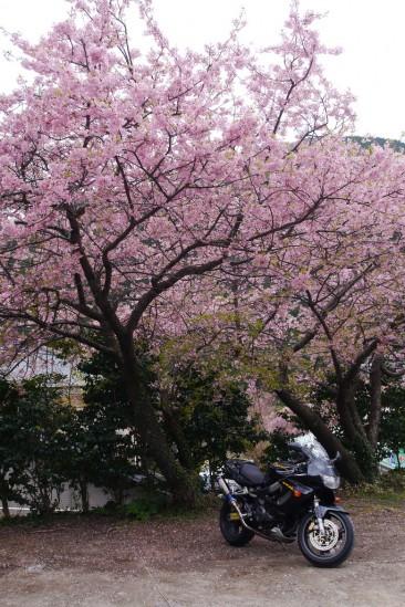 河津七滝・河津桜 (15)