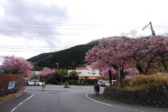 河津七滝・河津桜 (19)