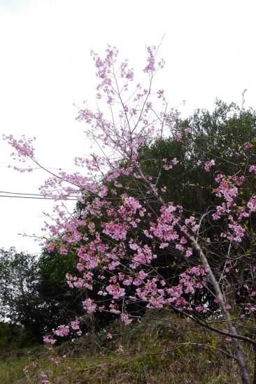 河津七滝・河津桜 (24)