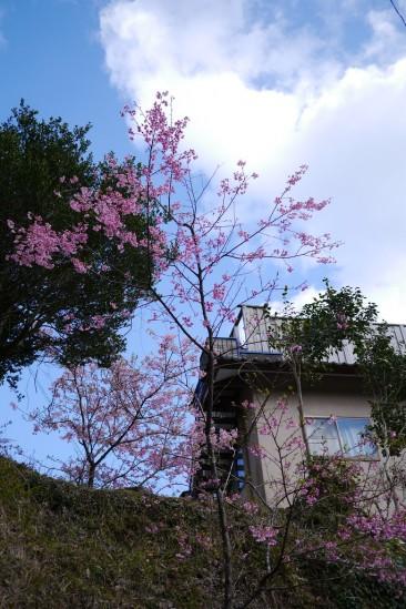 河津七滝・河津桜 (79)
