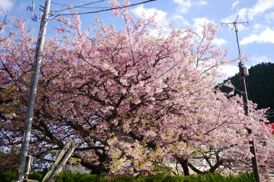 河津七滝・河津桜 (82)