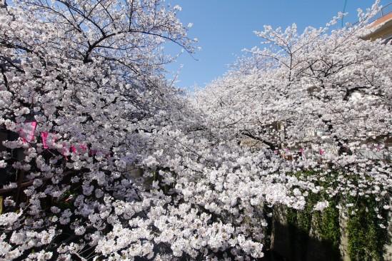 目黒川の桜 (19)