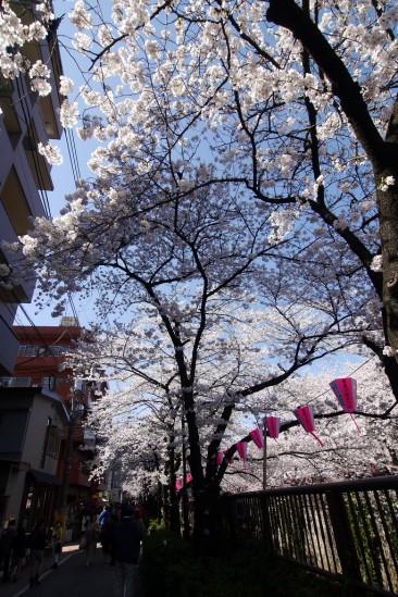 目黒川の桜 (20)