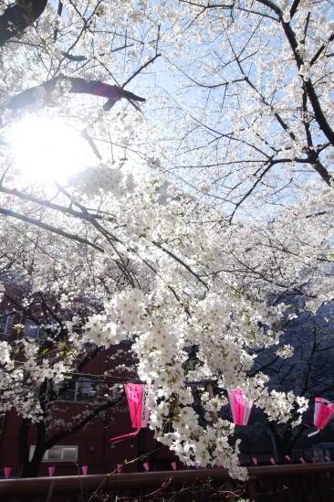 目黒川の桜 (22)