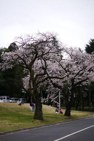 キャンプ座間の桜まつり (14)