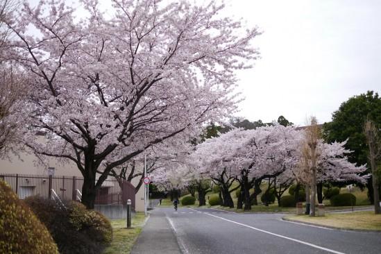 キャンプ座間の桜まつり (1)
