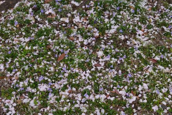 キャンプ座間の桜まつり (4)