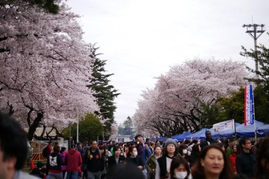 キャンプ座間の桜まつり (12)