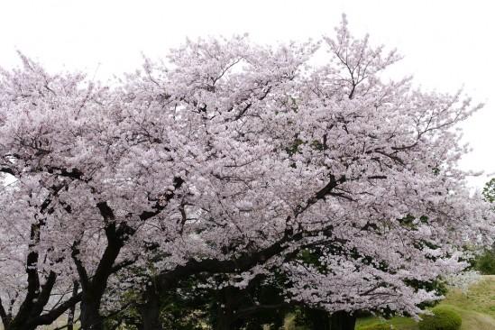 キャンプ座間の桜まつり (2)