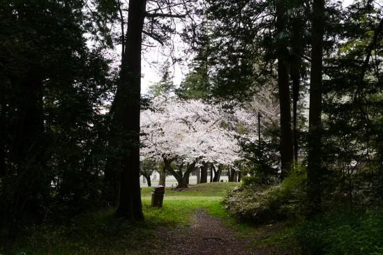 キャンプ座間の桜まつり (3)