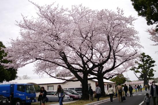 キャンプ座間の桜まつり (10)